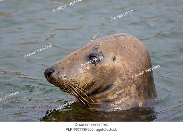 Grey seal / gray seal (Halichoerus grypus) swimming in sea. Close-up of head showing large whiskers