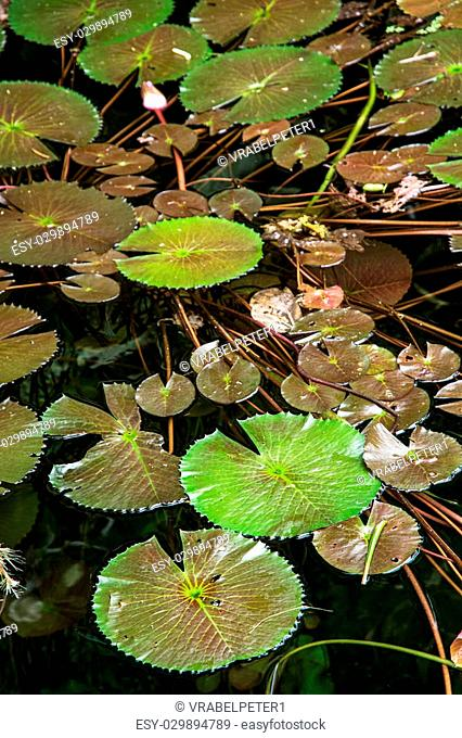 Beautiful green water lilies in the dark water. Natural background