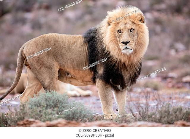 Lion (Panthera leo), Touws River, Western Cape, South Africa