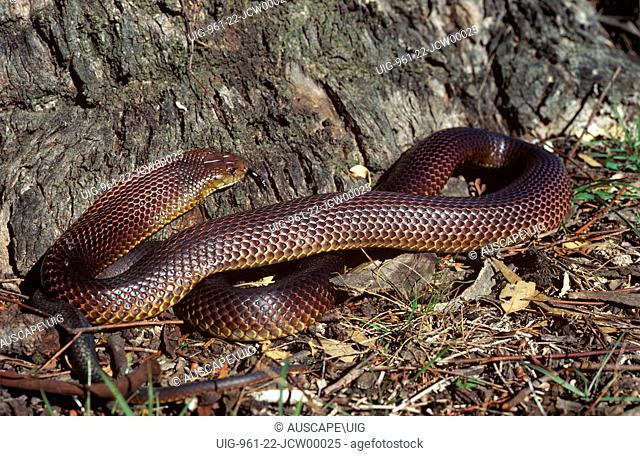 King brown or Mulga snake (Pseudechis australis), third-largest venomous snake in the world, to 3 m long, Macquarie Marshes, New South Wales, Australia