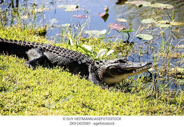 Aligator, Everglades NP, Florida, USA