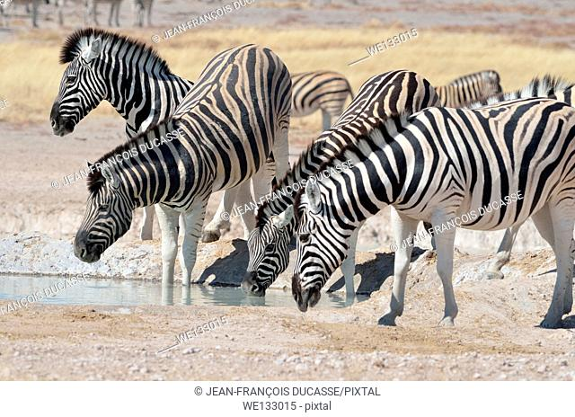 Burchell's zebras (Equus burchelli), drinking at waterhole, the youngest in the middle, Etosha National Park, Namibia, Africa