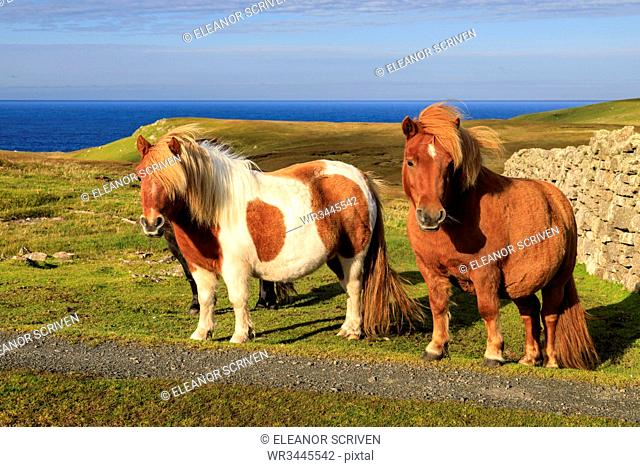 Windswept Shetland Ponies, a world famous unique and hardy breed, cliff tops of Northmavine, Mainland, Shetland Isles, Scotland, United Kingdom, Europe