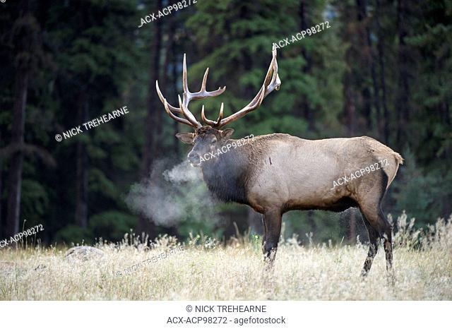 Cervus canadensis nelsoni, rocky mountain elk, rut, Alberta, Canada, bull, bugle