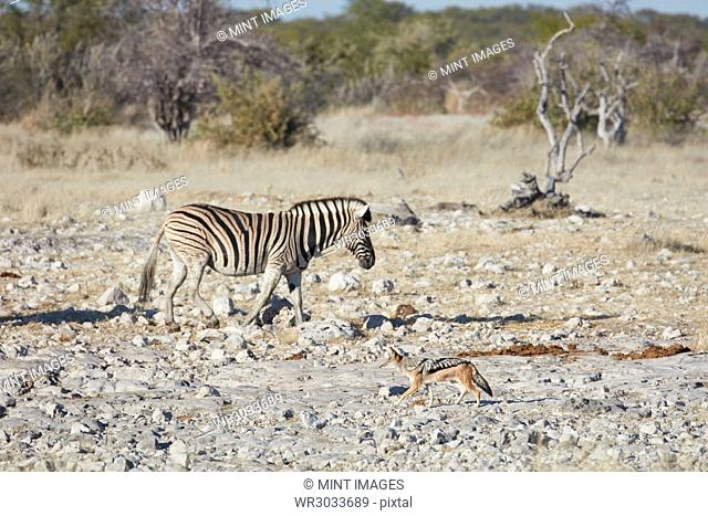 Burchell's zebra, Equus quagga burchellii, and a black-backed jackal, Canis mesomelas, walking through grassland