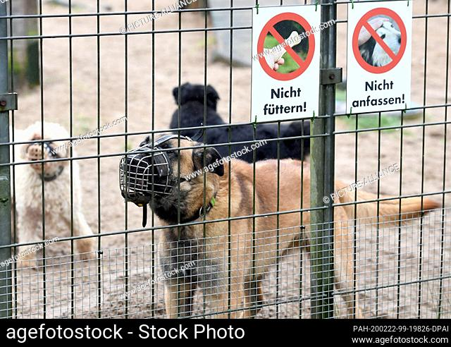 """20 February 2020, Schleswig-Holstein, Kiel: Mongrel dogs classified as """"""""problem dogs"""""""" are in their enclosure in the animal shelter of the Kieler..."""
