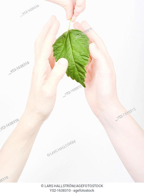 Hands shielding a green leaf