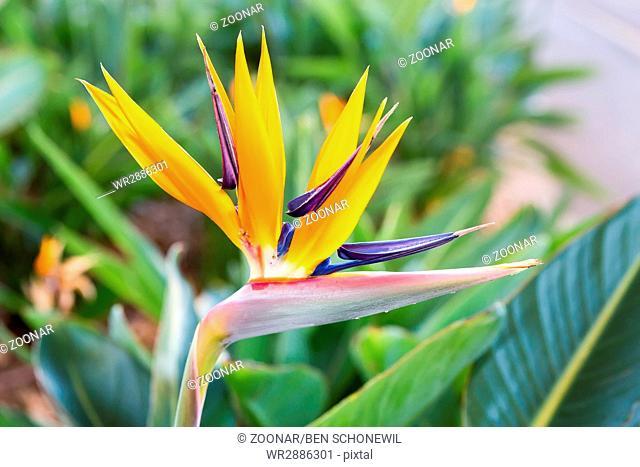 Close up Crane flower or Strelitzia reginaei