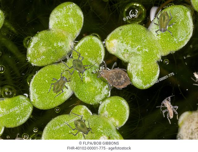 Waterlily Aphid (Rhopalosiphum nymphaeae) adult and young, on Common Duckweed (Lemna minor) leaves in garden pond, Dorset, England, September