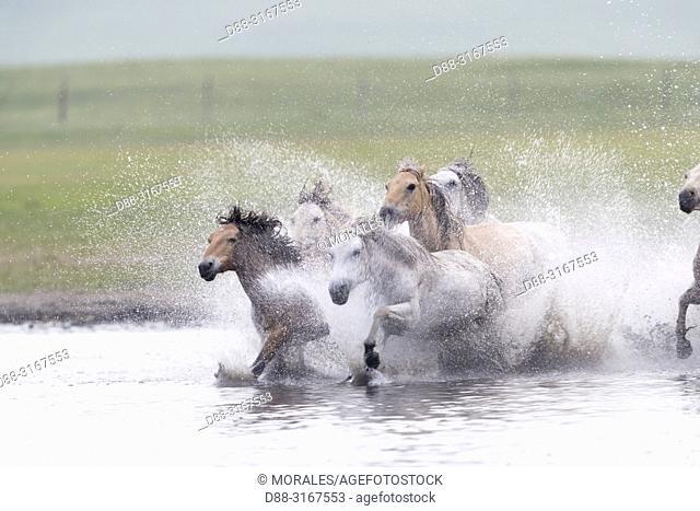 China, Inner Mongolia, Hebei Province, Zhangjiakou, Bashang Grassland, horses running in a group in the water