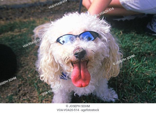 Cockapoo wearing sunglasses at the Doo Dah Parade, Pasadena, California