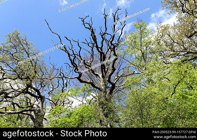 05 May 2020, Mecklenburg-Western Pomerania, Rostock: In the Schnatermann forest district of the Rostock Heath, a dead oak (M) can be seen