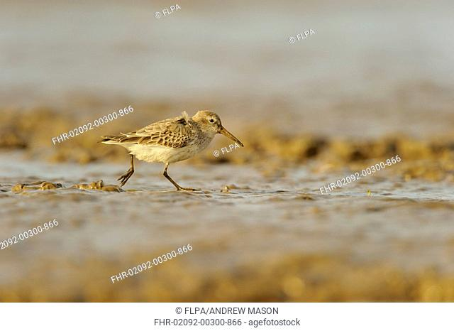 Dunlin (Calidris alpina) adult, non-breeding plumage, feeding on mudflats, Snettisham RSPB Reserve, The Wash, Norfolk, England, October