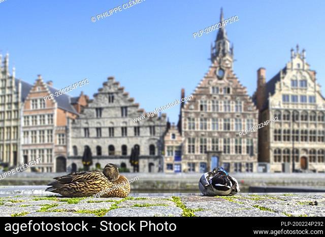 Wild duck couple resting in the deserted Flemish city Ghent due to the 2020 COVID-19 / coronavirus / corona virus pandemic, East Flanders, Belgium