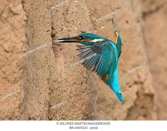 Kingfisher (Alcedo atthis) with fish approaching nest, Hesse, Germany