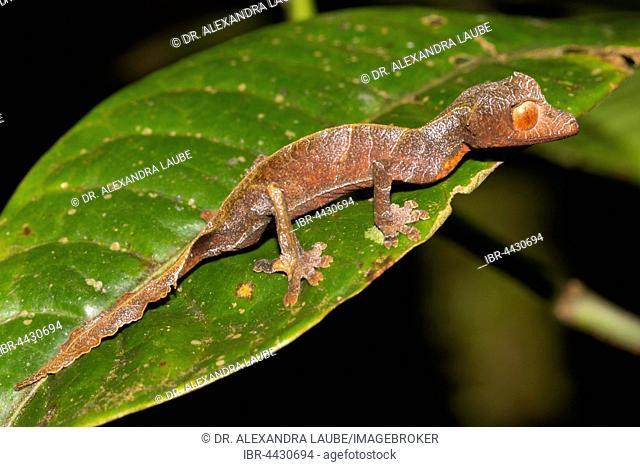 Uroplatus (Uroplatus phantasticus), juvenile on green leaf, rainforest, Ranomafana, Southern Highlands, Madagascar