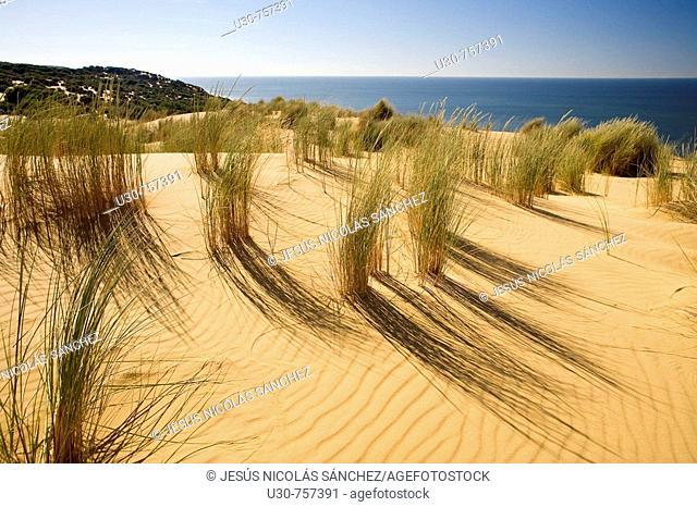 Vegetation on the Asperillo Duna, in the Natural Park of Doñana, Doñana, Huelva, Andalucia, Spain, Europe