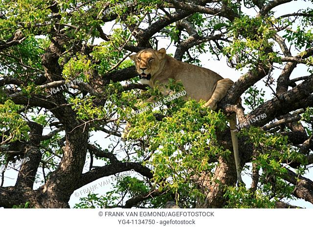Lioness in a Marulla tree  Hluhluwe-Imfolozi, Kwazulu-Natal, South Africa