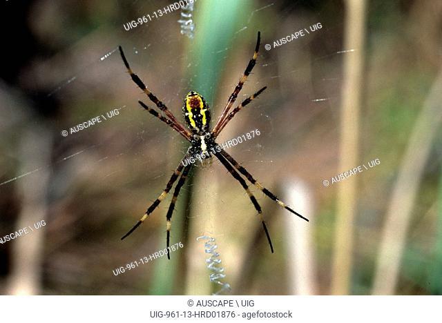 Cross spider, Argiope dietrichae, Western Australia, Australia. (Photo by: Auscape/UIG)