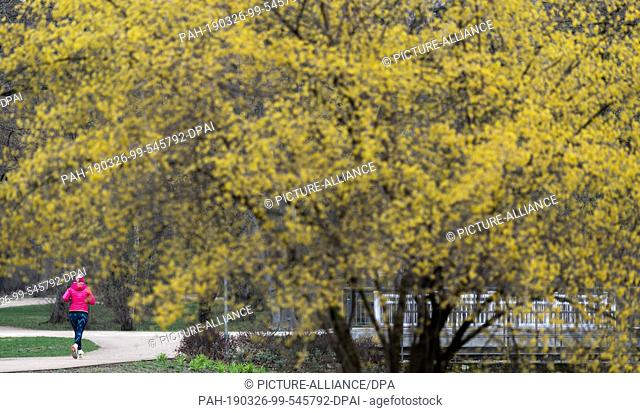 26 March 2019, Saxony, Dresden: A jogger runs in the morning through the big garden with blossoming trees. Photo: Robert Michael/dpa-Zentralbild/ZB
