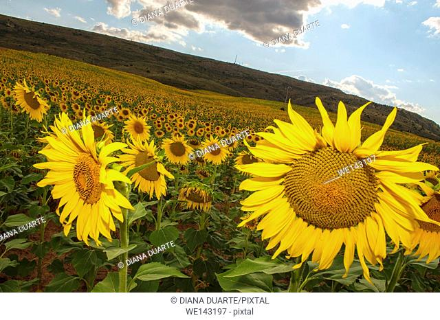 Sunflowers (Helianthus); Fields of sunflowers in bloom in Sacecorbo, Guadalajara, Spain