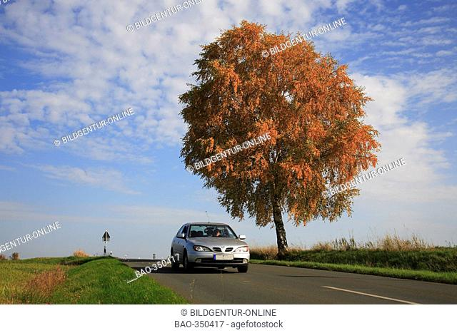 Birchtree and street in autumn