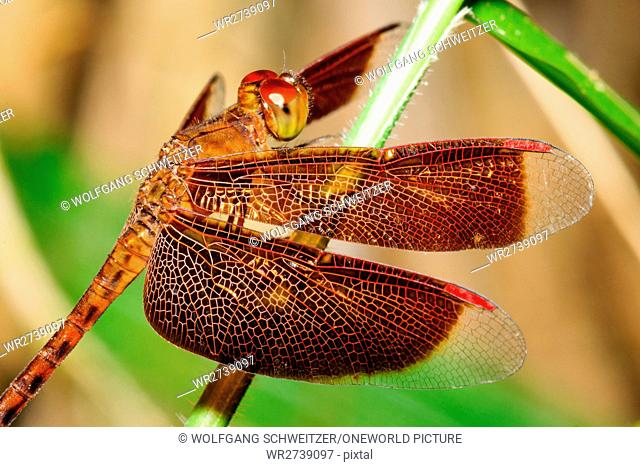 Indonesia, Kalimantan, Borneo, Kotawaringin Barat, Tanjung Puting National Park, Close-up of a Grasshawk Dragonfly, Grasshawk Dragonfly (Neurothemis fluctuans)