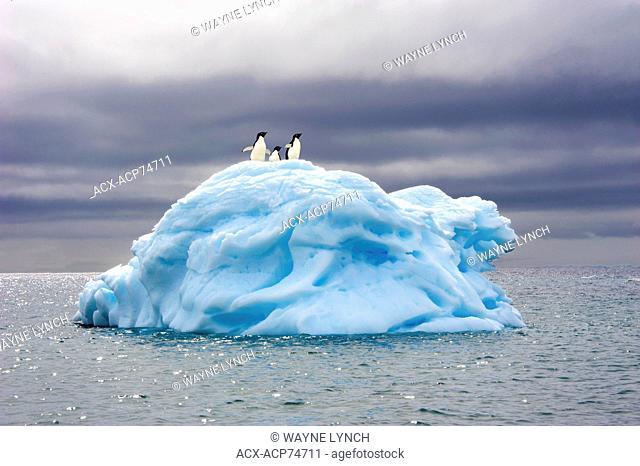 Adelie penguin(s) (Pygoscelis adeliae), Orne Islands, Antarctic Peninsula