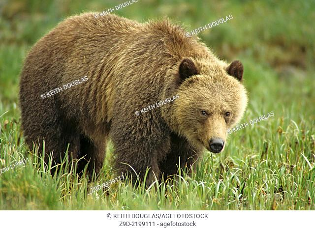Grizzly bear in estuary grasses, Glendale river estuary, Knight Inlet, British Columbia