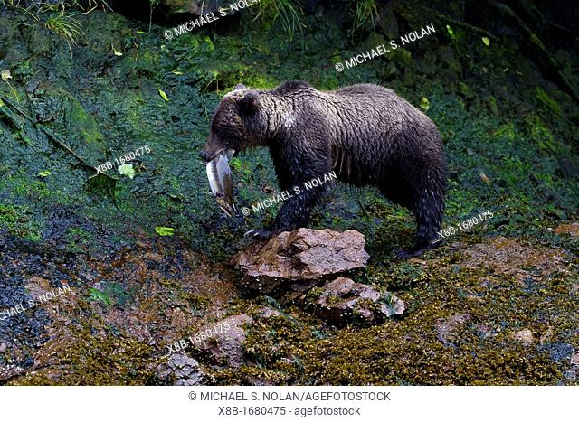 Adult brown bear Ursus arctos fishing for pink salmon at Pavlof Harbor on Chichagof Island, Southeast Alaska, USA