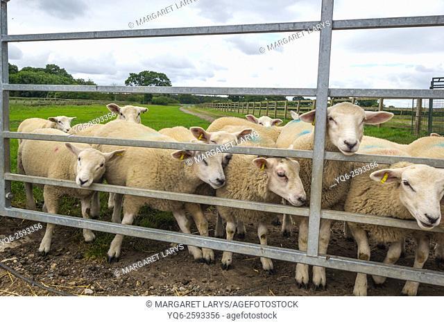 Sheep at the farm behind metal fence, Yorkshire, England, United Kingdom