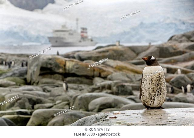 A Gentoo Penguin with the Sergey Vavilov Anchored in the Lemaire Channel in the background, Petermann Island, Antarctica