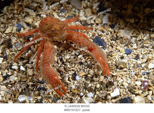 Galathea nexa, brilliant orange-coloured, hairy British squat lobster on gravel seabed, St Abbs, Scotland, UK North Sea