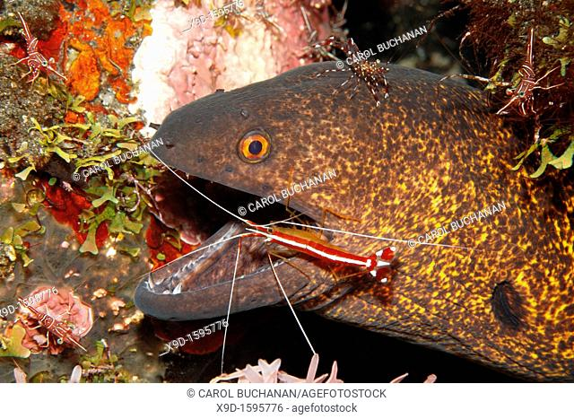 Yellowmargin, or Yellow-Margined Moray, Gymnothorax flavimarginatus having teeth cleaned by Cleaner Shrimp, Lysmata amboinensis  There is an Urocaridella...