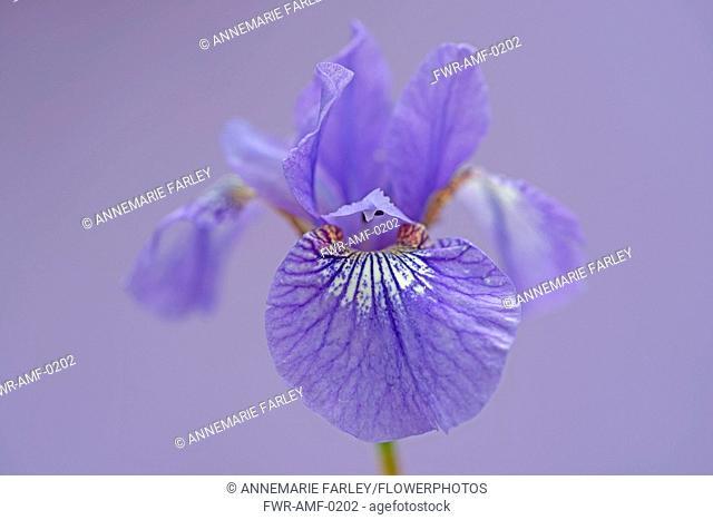 Siberian iris, Iris sibirica 'Sparkling rose', purple flower against lilac background