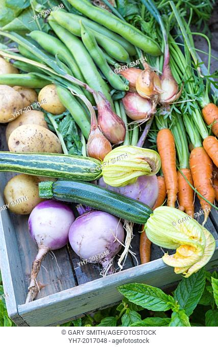Collection of freshly harvested summer vegetables from a small garden
