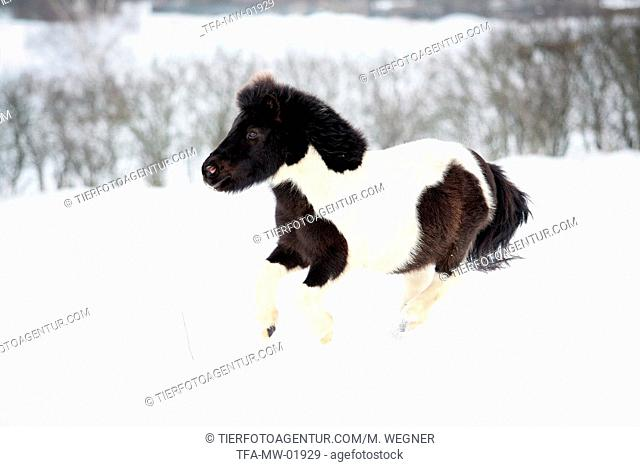 Shetland pony runs through the snow