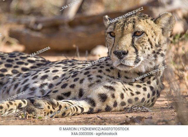 Portrait of male Chetaah, Okonjima Nature Reserve, Namibia