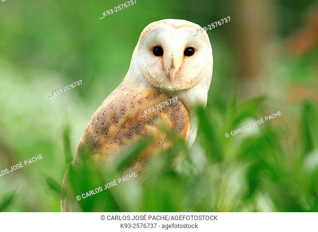 Barn Owl (Tyto alba), Mallorca, Balearic Islands, Spain