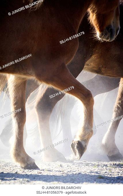 Icelandic Horse. Herd trotting in a dusty paddock, close-up of legs. Austria