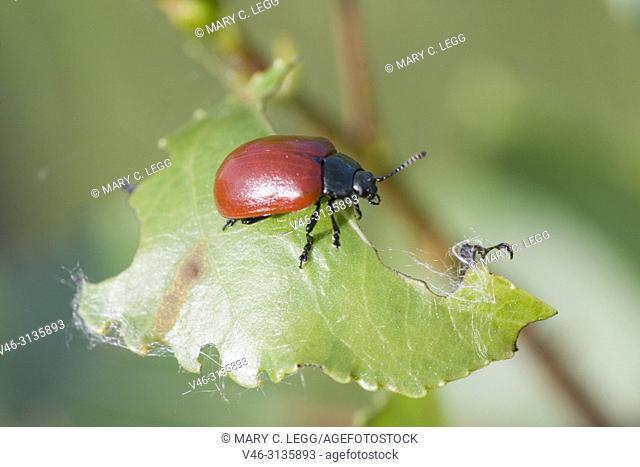 Red Poplar Beetle, Chrysomela populi, Balsam Poplar Leaf Beetle. Leaf beetle pest of alder, willow and poplar. Leaf skeletonizer of economic significance