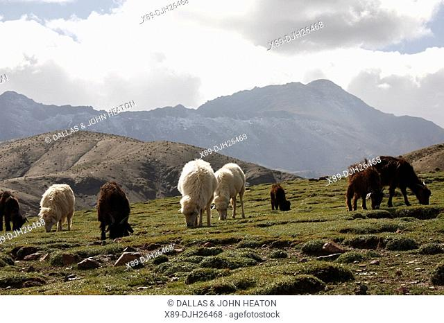 Africa, North Africa, Morocco, Atlas Mountains, Terraced Fields, Tizi n Tichka, Livestock Grazing