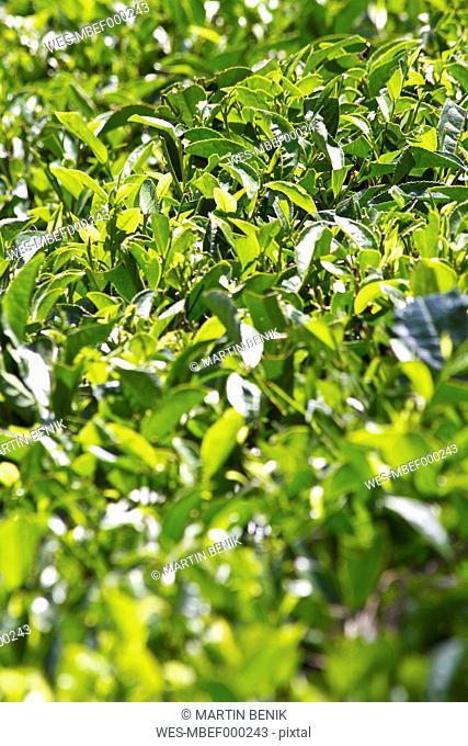 India, Kerala, Munnar, View of black tea field