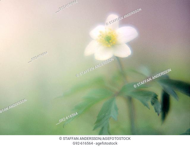 Wood anemone. (lat. Anemone nemorosa). Skåne, Sweden, Scandinavia, Europe