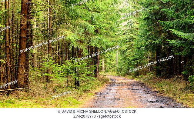 Landscape of a forest road with Norway Spruces (Picea abies) in early spring, Bavaria, Germany