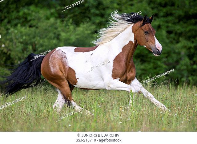 American Paint Horse. Skewbald adult galloping on a pasture. Switzerland