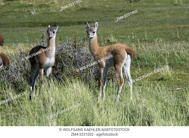 Baby (chulengo) guanacos (Lama guanicoe) in Torres del Paine National Park in southern Chile