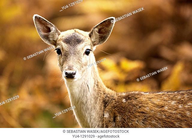Female Hind Red Deer Cervus elaphus  UK