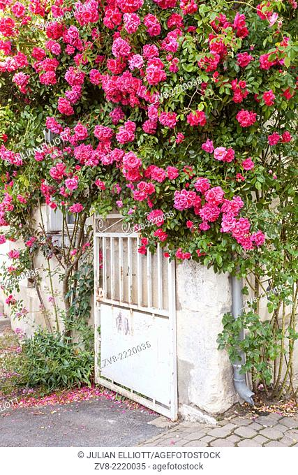 Roses cover a house in the village of Chedigny, France. The village holds a rose festival every May