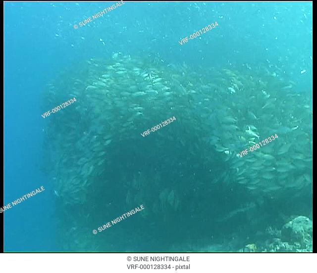 Large shoal/bait ball of silver fish MS, small banner fish shoal under main bait ball. Alor, Kanawa, Indonesia, South East Asia
